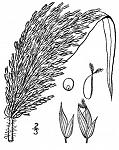 Panicum-milaceum-panicle-119x150